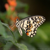 Fond d'écran avec photo de Papillon - machaon