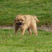Photo de Border terrier