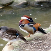 Photo de Canard mandarin
