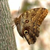 Fond d'écran avec photo de Papillon - hibou