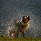 Photo d'Australian sheperd
