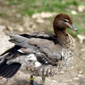Photo de Canard à crinière