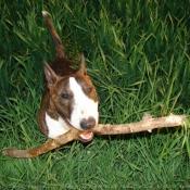 Photo de Bull terrier