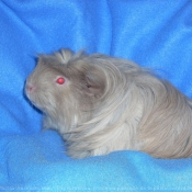 Photo de Cochon d'inde - coronet