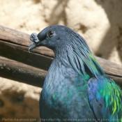 Photo de Pigeon - nicobar