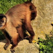 Photo de Singe - capucin