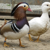 Photo de Canard mandarin