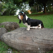 Photo de Basset hound