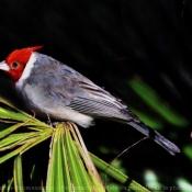 Fond d'écran avec photo de Cardinal à huppe
