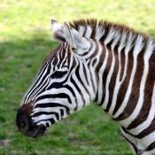 Photo de Zebre