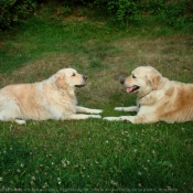 Photo de Golden retriever