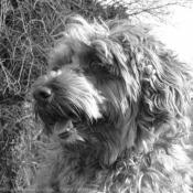 Photo de Griffon d'arret à poil dur korthals