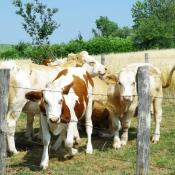 Photo de Vache - jersiaise