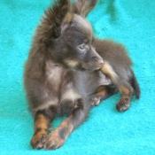 Photo de Petit chien russe