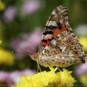 Photo de Papillon - belle-dame