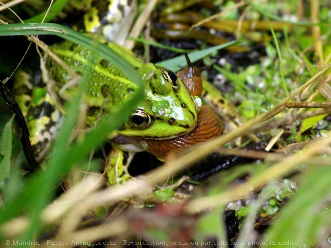 Photo de Grenouille - rainette
