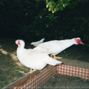 Photo de Canard de barbarie