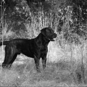 Fond d'écran avec photo de Rottweiler