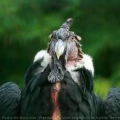 Photo de Condor