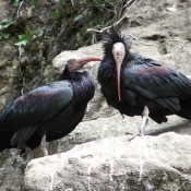 Photo d'Ibis chauve