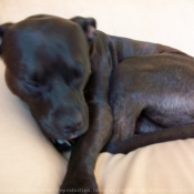 Photo d'American staffordshire terrier