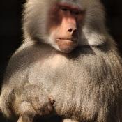 Photo de Singe - baboin