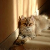 Photo de Persan