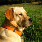 Photo de Labrador retriever
