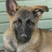 Photo de Berger belge malinois