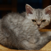 Photo de Selkirk rex poil court