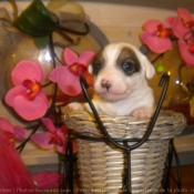 Photo de Jack russell terrier