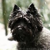 Fond d'écran avec photo de Cairn terrier