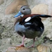 Photo de Canard à collier noir