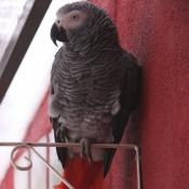 Photo de Perroquet - gris du gabon