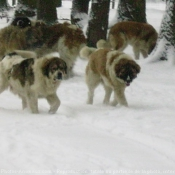Photo de Berger du caucase
