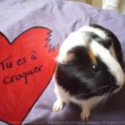 Photo de Cochon d'inde - hollandais