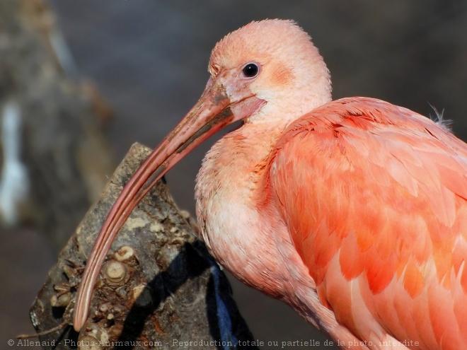 Photo d'Ibis rouge