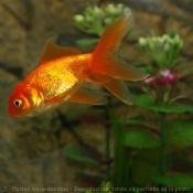 Photo de Poisson rouge