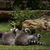 Photo de Lémurien - maki catta