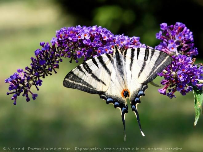 Photo de Papillon - l'ocellé rubanné