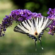 Fond d'écran avec photo de Papillon - l'ocellé rubanné