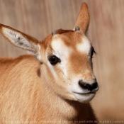 Fond d'écran avec photo d'Oryx