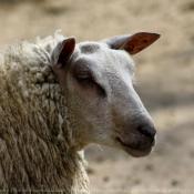 Les fonds d'écran Animaux de la ferme de lounachon