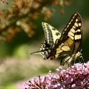 Photo de Papillon - machaon
