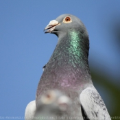 Photo de Pigeon - biset