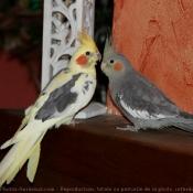 Photo de Perruche calopsitte