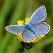 Fond d'écran avec photo de Papillon - l'azuré du genêt