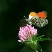 Photo de Papillon - l'aurore