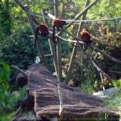 Photo de Lémurien - maki vari roux