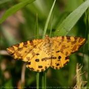 Photo de Papillon - la panthère